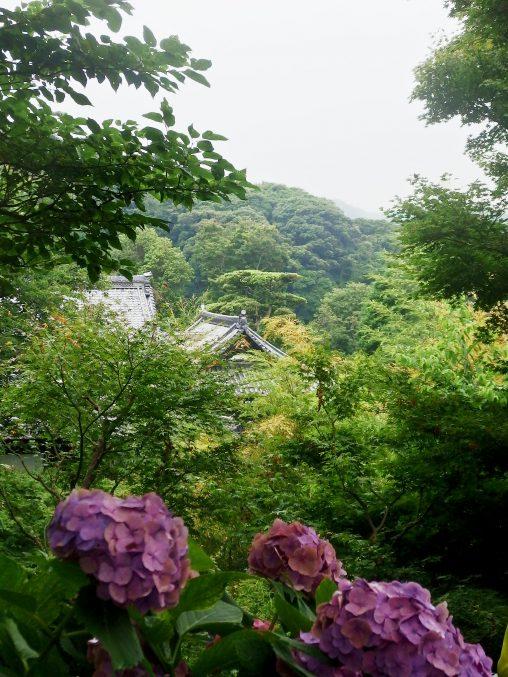 長谷寺 展望散策路 紫陽花
