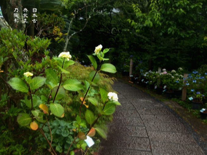 光則寺 紫陽花
