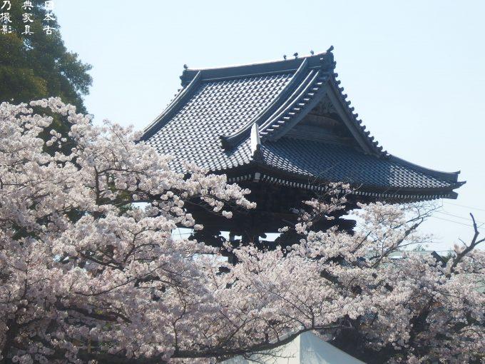 光明寺 鐘楼 桜