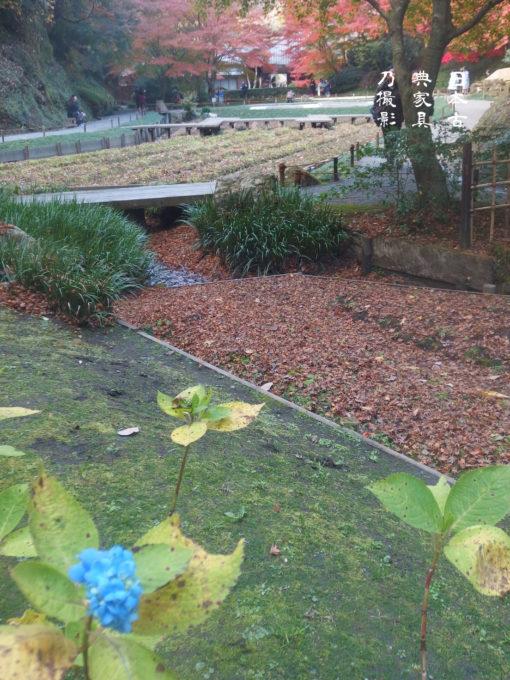明月院 後庭園の紅葉紫陽花と紅葉