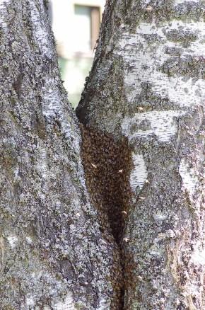 Parveilemaan lähteneet mehiläiset kerääntyvät kuningattaren ympärille.
