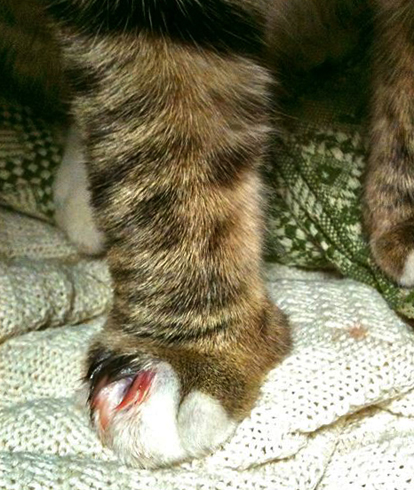 Отек лапы у кота причины и что делать