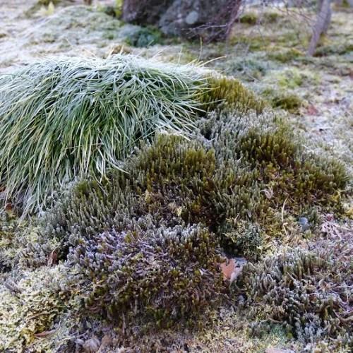 庭のイワヒバの冬の霜の降りた写真