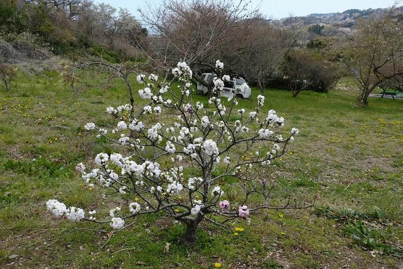多聞山の白のはなたれ桃の写真