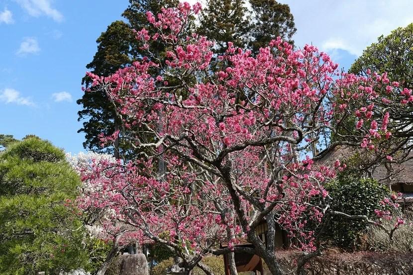 x-pro3で撮影の松島円通院の前の桜の写真