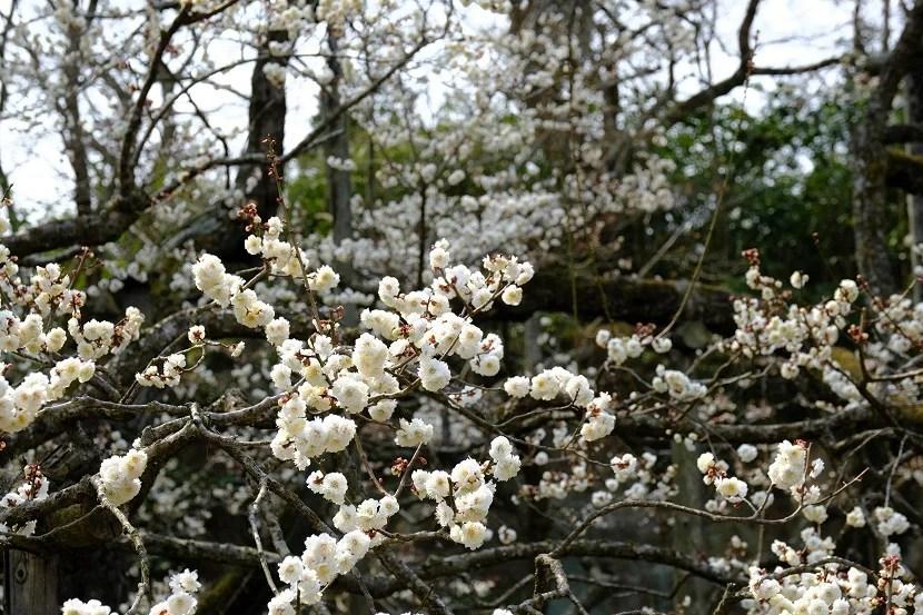 x-pro3で撮影の松島瑞巌寺の臥竜紅梅(白)の写真