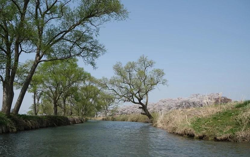 展勝地の桜の風景写真