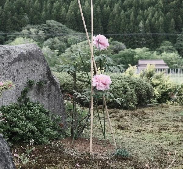 庭の牡丹の花の写真