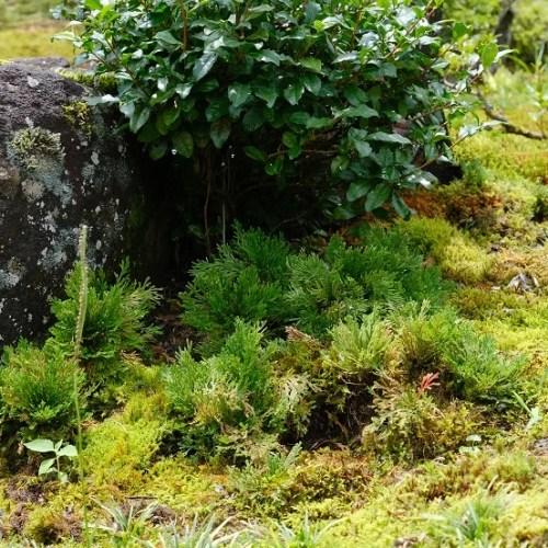 庭のイワヒバの7月の風景写真