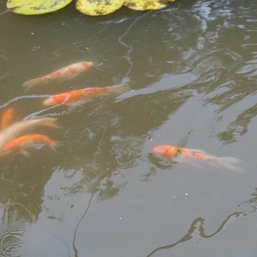 自宅の池の鯉の写真