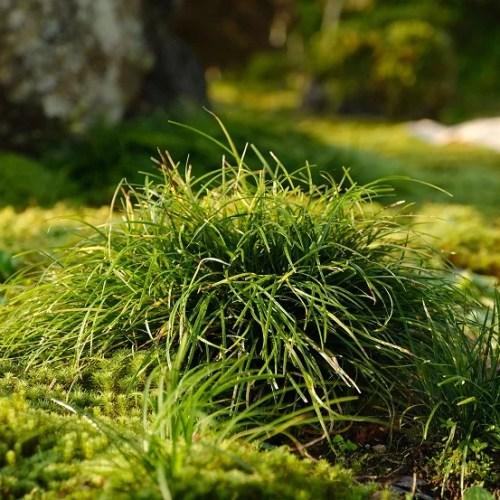 庭のイワヒバ9月の写真