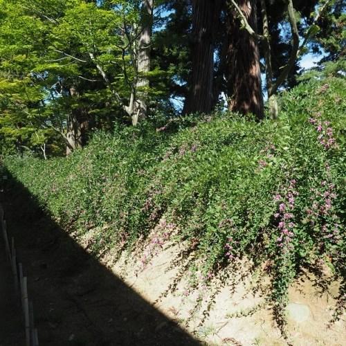 世界遺産毛越寺の萩祭りの萩の写真