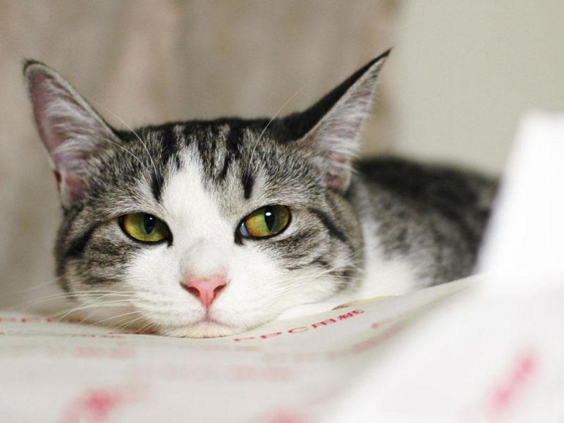 Tratamiento de vómitos en gatos en casa.