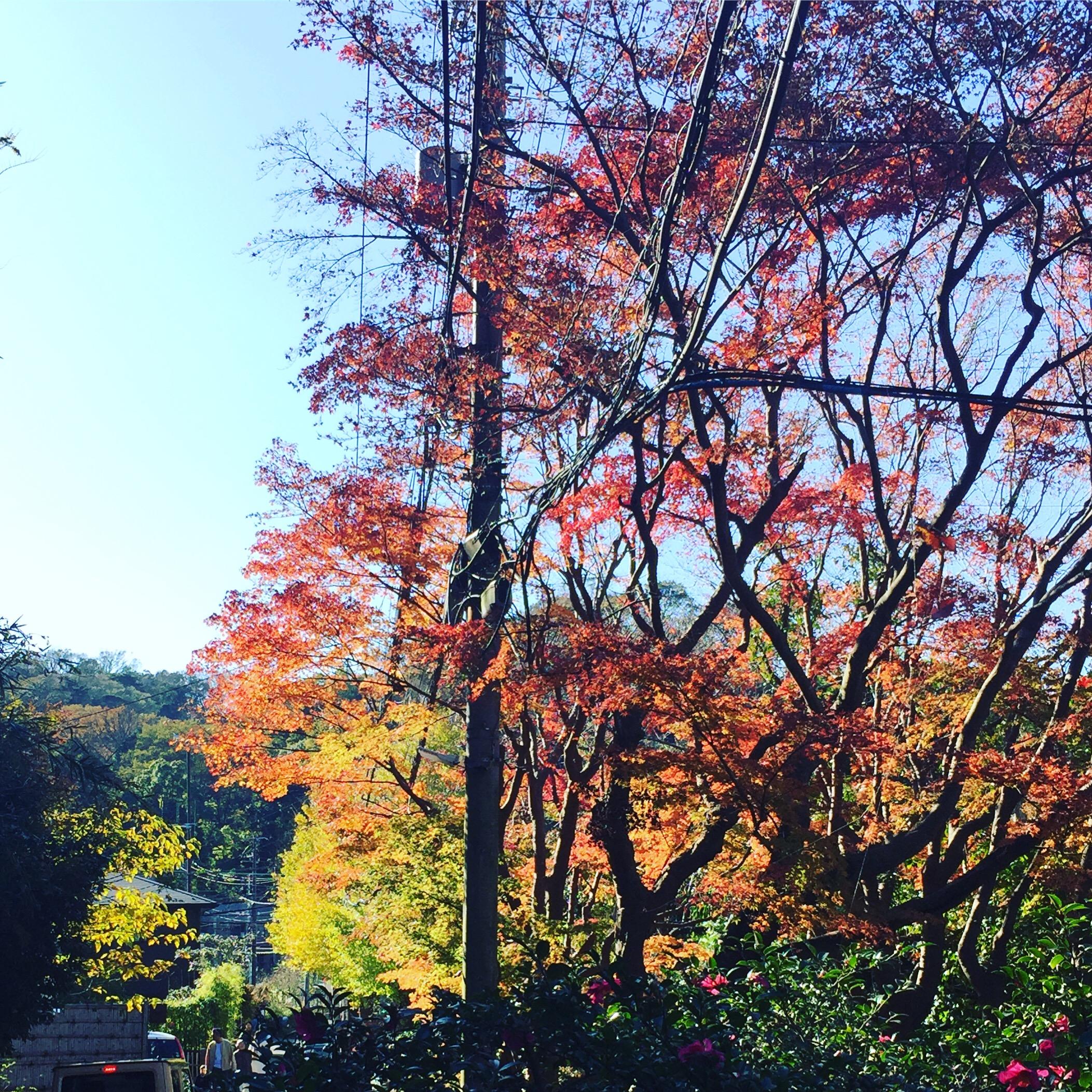 コワーキングスペースことkama.のすぐ近くにある明月院通りの紅葉