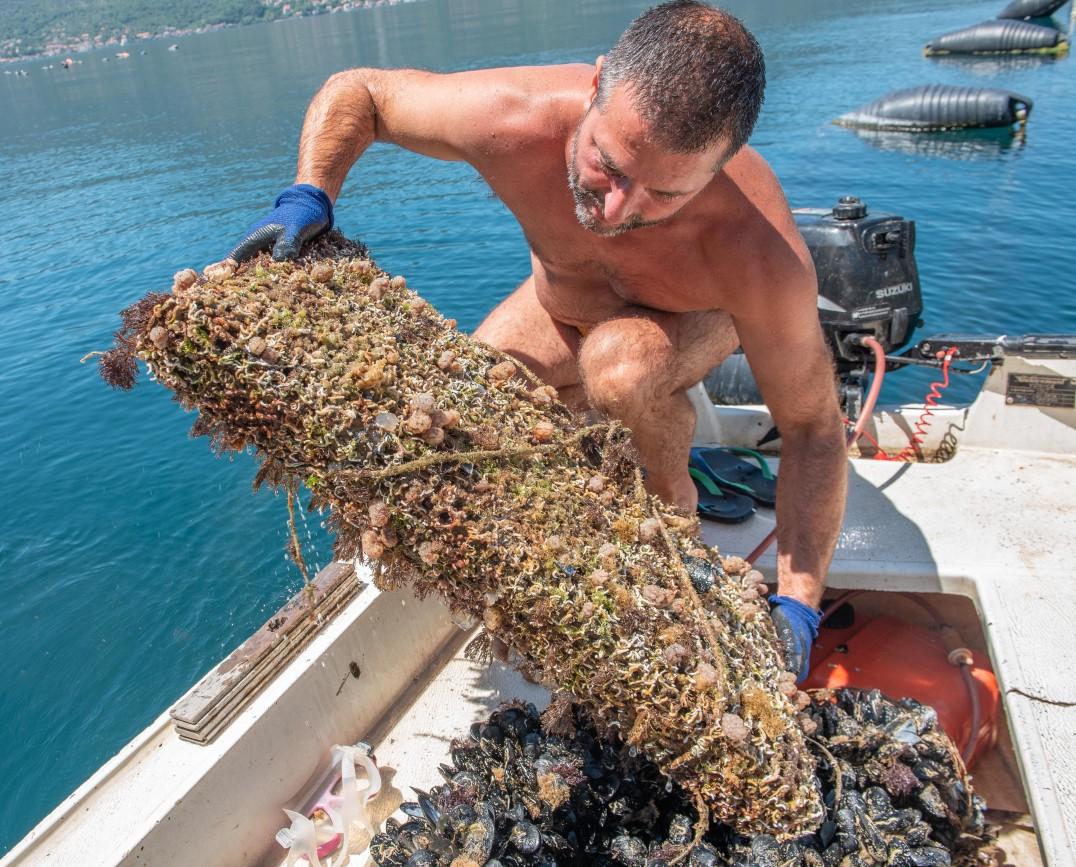 oyster mussel farm kotor