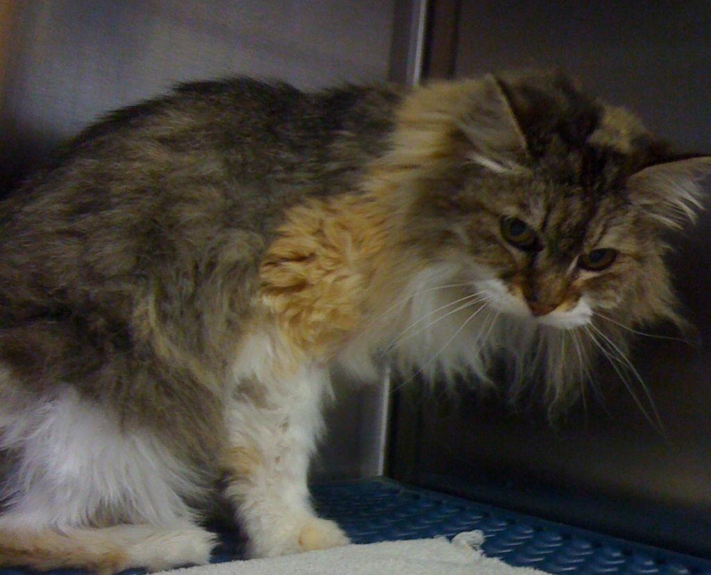 Саркома рак у кошек