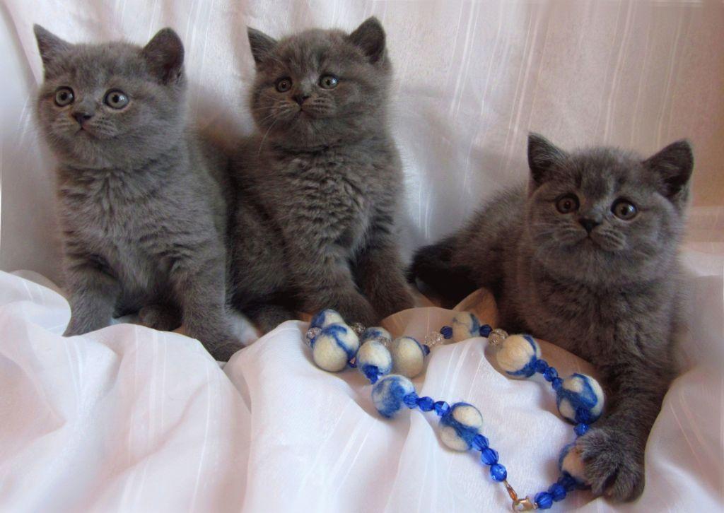 Правильный уход за британскими котятами воспитание и кормление