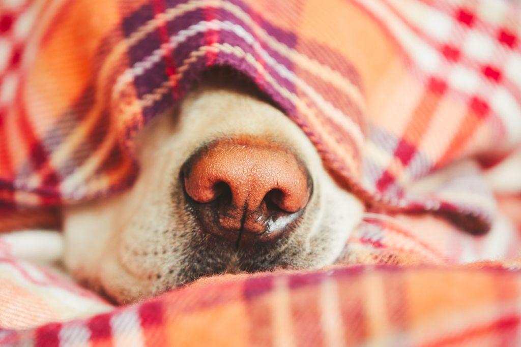 como medir la fiebre en perros