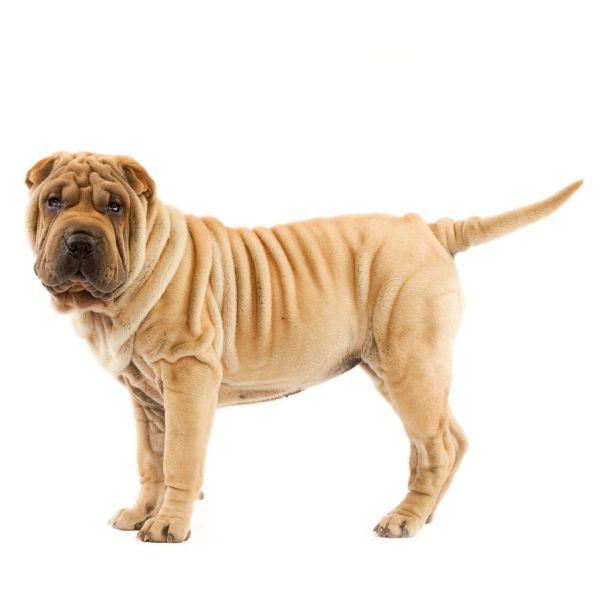 Шарпей: описание породы и характер, стоимость щенков ...