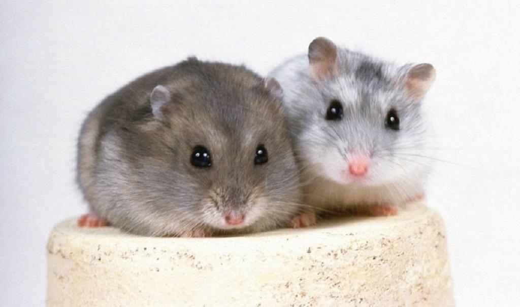 pierdere în greutate hamster