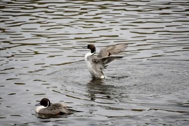 水原川で遊ぶ水鳥たち 水原川白鳥飛来地(福島県二本松市)