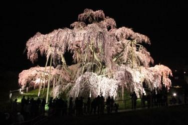 【日本三大桜】三春の滝桜 夜桜ライトアップ画像(駐車場・アクセスマップ)