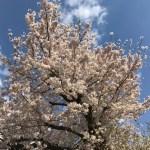 お花見ガイド【2017〜2018】桜の楽しみ方 in 神奈川・横浜、ところどころ東京。