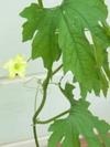 Goya_flower