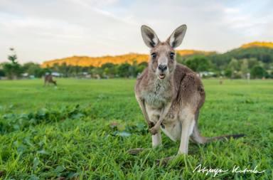 kangourou-faits insolites australie- Atsuya Kotoda Photography