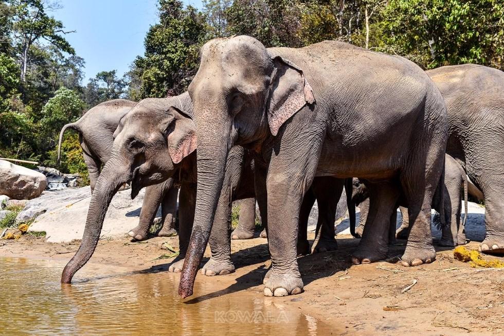Élephants qui boivent au Elephant Jungle Sanctuary, Thailande