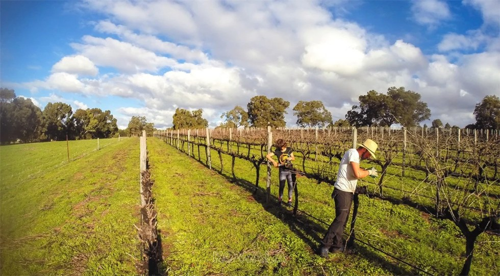 taille des vignes vignoble syrah avant après gingin western australia pvt farm job whv