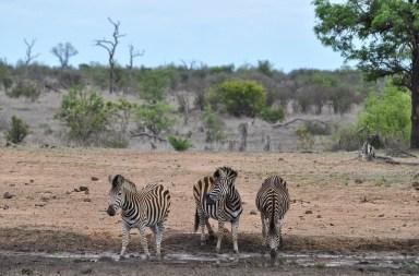 zebres boivent point eau parc kruger
