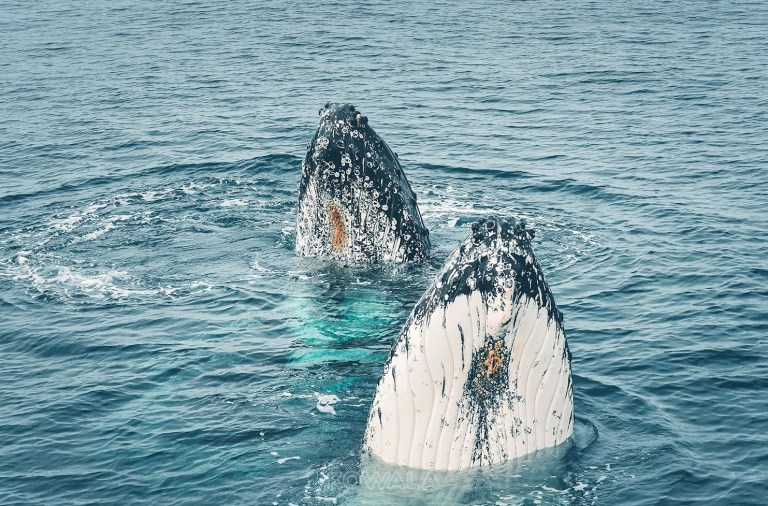 Humpback whales tour swim nage baleines à bosses exmouth ningaloo reef ocean eco adventure