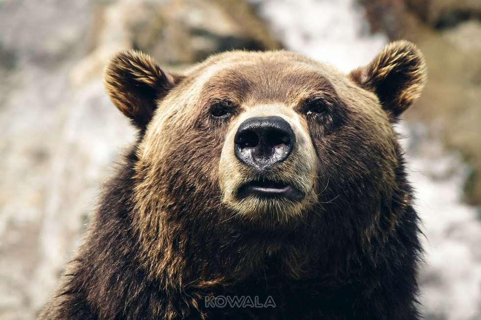 Un grizzli