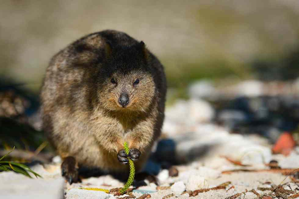 Quokka Rottnest Island Perth WA PVT Australie Nouvelle Zélande backpacker road trip travel voyage photography Australia New Zealand