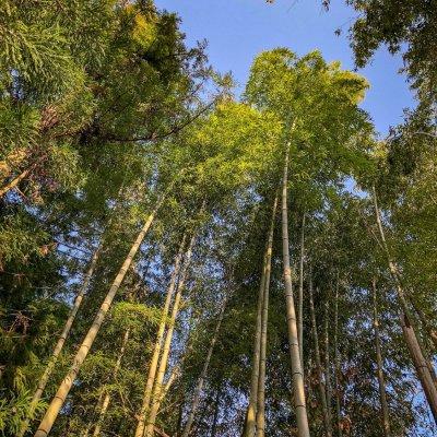 Foret de bambou japon