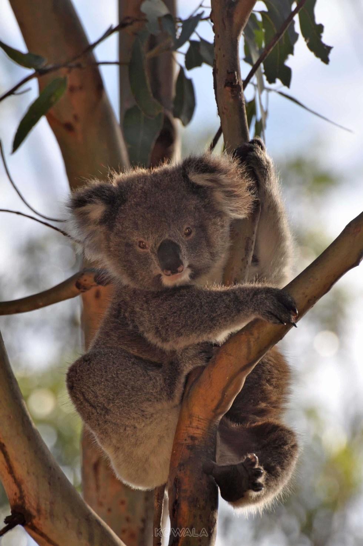 koala eucalyptus tencel vetement voyage
