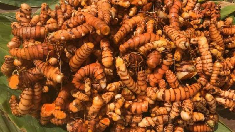Bengaluru institute on a mission to improve turmeric cultivation through soil-less agriculture