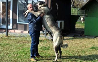 Otomobil Fiyatına Kangal Köpeği! Günde 7 Kilo Et Yiyor
