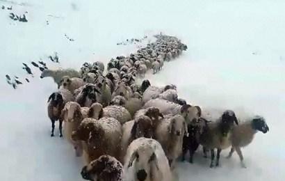 Kar Aniden Bastırınca Çoban ve Sürüler 6 Gün Mahsur Kaldı