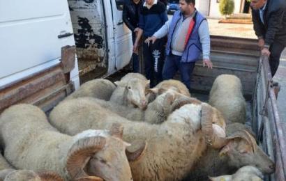 40 Koyunu Çaldılar