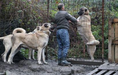 Anadolu Çoban Köpeğinin Fiyatı Dudak Uçuklatıyor