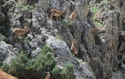 Tunceli'de Yaban Keçileri Yola İndi