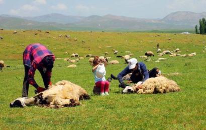 Muş'ta Koyun Kırkma Zamanı