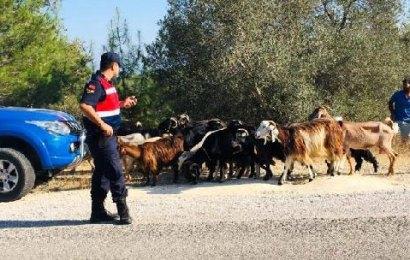 Kayıp Keçilerin İmdadına Jandarma Koştu