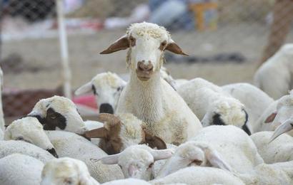 Koyun Keçi Desteklemelerini Kaçıranlara Müjde!
