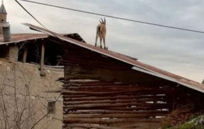 Vatandaşlar evde, yaban keçileri çatılarda