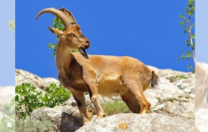 Bingöl dağ keçileri avcıların hedefinde
