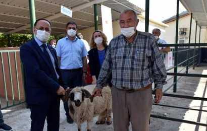 Sinop'ta yetiştiricilere damızlık koç dağıtıldı