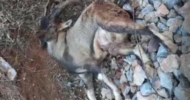 Avcıların vurduğu dağ keçisi can çekişerek öldü